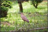 黑冠麻鷺:IMGP0790.JPG
