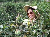 中山休閒農業區單車之旅:內山茶園採茶姑娘