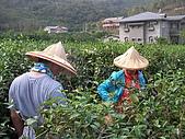 中山休閒農業區單車之旅:內山茶園採茶
