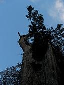 明池馬告生態之旅:明池神木