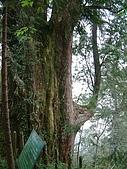 棲蘭馬告100神木之旅:DSCF5134