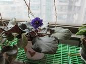 草花:非洲菫1.JPG
