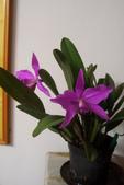 蘭花:purpurata,sincorana1.jpg