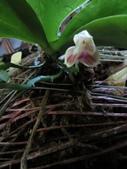 蘭花:Phal.javanica.jpg