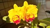 蘭花:Blc. Yellow Ball X Pot. Free Spirit.jpg