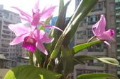 蘭花:purpurata,sincorana2.jpg