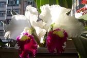 蘭花:嘉德利亞168.jpg