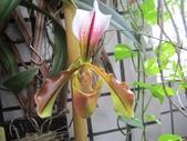 蘭花:paph.villosum.JPG