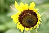 103年04月 「花花世界」相簿主題投稿活動:向日葵花朵 <a target='_blank' href='/tracysung2002/16638236'>[更多tracysung2002的照片]</a>