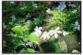 『桐花季』相簿主題活動:[lin74712000] 五月雪-油桐花