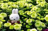 100年3月『喜兔迎春』相簿主題投稿活動:[mp0056] 米菲兔賞菊花