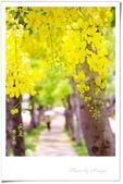 102年6月 「數大便是美」相簿主題投稿活動 :[m5372] 黃金雨.jpgh