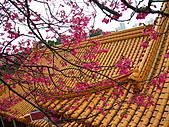 100年1月『櫻花季』相簿主題投稿活動:[stephen_cyk] P1000204.JPG