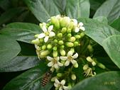 103年04月 「花花世界」相簿主題投稿活動:蜜蜂與蘭嶼海桐花朵 <a target='_blank' href='/tracysung2002/16637426'>[更多tracysung2002的照片]</a>