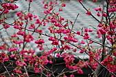 100年1月『櫻花季』相簿主題投稿活動:[leo_amy] 20100220_021.jpg