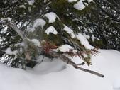103年03月 「雪跡」相簿主題投稿活動:露易絲湖44路邊的雪松.JPG <a target='_blank' href='/cloudheart64/6257620'>[更多cloudheart64的照片]</a>