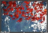 """9910『秋日""""楓""""菊趣』相簿主題投稿活動:[leo_amy] 20091116武陵_0072.jpg"""