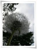 103年04月 「花花世界」相簿主題投稿活動:西洋蒲公英瘦果冠毛 <a target='_blank' href='/tracysung2002/16638236'>[更多tracysung2002的照片]</a>