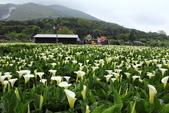 102年6月 「數大便是美」相簿主題投稿活動 :[dave178.net] 2013-03-23 竹子湖海芋季01