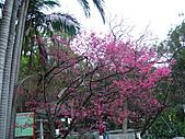 100年1月『櫻花季』相簿主題投稿活動:[stephen_cyk] P1000220.JPG