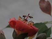 103年04月 「花花世界」相簿主題投稿活動:二隻野蜂採花蜜 <a target='_blank' href='/tracysung2002/16637569'>[更多tracysung2002的照片]</a>