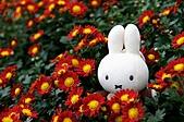 100年3月『喜兔迎春』相簿主題投稿活動:[mp0056] 米菲兔賞菊花2