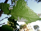 103年12月 「2014年最佳相片」相簿主題投稿活動:葉蜂幼蟲九尾 <a target='_blank' href='/tracysung2002/19338250'>[更多tracysung2002的照片]</a>