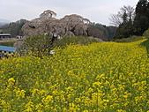 100年1月『櫻花季』相簿主題投稿活動:[stephen_cyk] DSC00014.JPG