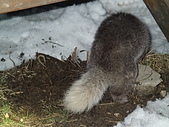 103年03月 「雪跡」相簿主題投稿活動:雪地中的鼬獾.JPG <a target='_blank' href='/lucky.yu/18692564'>[更多lucky.yu的照片]</a>