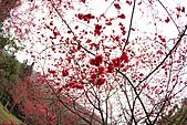 100年1月『櫻花季』相簿主題投稿活動:[gtrfan] 櫻花朵朵開