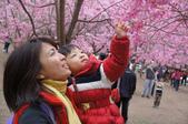 101年5月 「我愛媽咪」相簿主題投稿活動:[arpacino] 櫻花