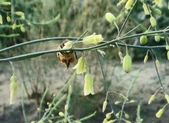 103年12月 「2014年最佳相片」相簿主題投稿活動:蜜蜂採蘆筍花蜜 <a target='_blank' href='/tracysung2002/19274369'>[更多tracysung2002的照片]</a>
