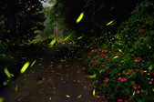 103年06月 「流螢之舞」相簿主題投稿活動:2012-05-07大山背-1.jpg <a target='_blank' href='/leo_amy/5672488'>[更多leo_amy的照片]</a>