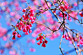 100年1月『櫻花季』相簿主題投稿活動:[tokyo651128] DSC_3656.jpg