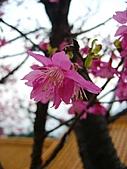 100年1月『櫻花季』相簿主題投稿活動:[stephen_cyk] 桃園市虎頭山櫻花