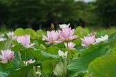 102年6月 「數大便是美」相簿主題投稿活動 :[yamawen_hsu] 白河荷花