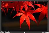 """9910『秋日""""楓""""菊趣』相簿主題投稿活動:[leo_amy] 20091116武陵_0096.jpg"""