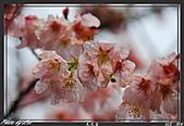 100年1月『櫻花季』相簿主題投稿活動:[leo_amy] 20090308_025.JPG
