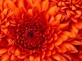 101年7月 「Fun暑假」相簿主題投稿活動:Chrysanthemum.jpg