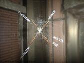 103年12月 「2014年最佳相片」相簿主題投稿活動:蛛形金蛛雌成蛛織X形白隱帶 <a target='_blank' href='/tracysung2002/19340957'>[更多tracysung2002的照片]</a>