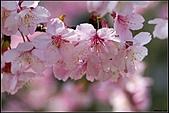 100年1月『櫻花季』相簿主題投稿活動:[johnsontsai1966] DSC00822.jpg