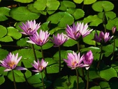 :Water lilies