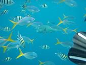 帛琉五日遊-Day3.4大斷層-長灘島-硬珊瑚區-鯊魚城 :看到這些魚兒,悠閒的游著,真是開心喔!這張拍的很假,很像名信片