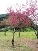 2014武陵農場櫻花季:IMG_3030.jpg