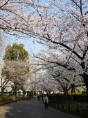 2015春櫻上野不忍池:P1250553.jpg