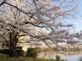 2015春櫻上野不忍池:IMG_2134.jpg