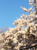 2015春櫻上野不忍池:IMG_2122.jpg