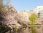 2015春櫻上野不忍池:IMG_2118.jpg