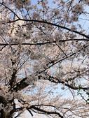 2015春櫻上野不忍池:IMG_2125.jpg