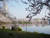 2015春櫻上野不忍池:P1250551.jpg